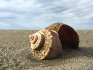channeled-whelk